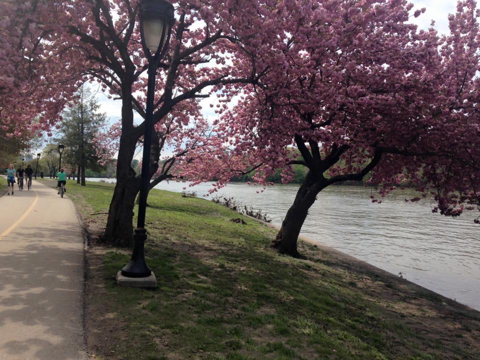cherry bloss kelly